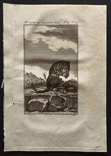 1799 - Buffon - Le phalanger femelle - Gravure zoologie