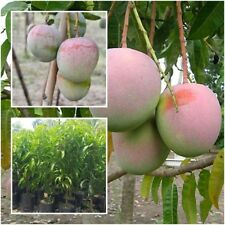 """Mango Tree Plant Grafted """"R2E2"""" Fruit Tropical From Thailand Tall 20''"""