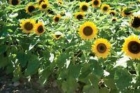 Sonnenblume Sunspot Dwarf - Zwerg- 10+ Samen - Saatgut - Gemüsesamen