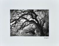 Oak Trees Plantation Photo Art Home FarmHouse Wall Decor Matted Print Picture