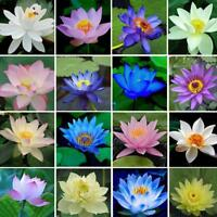 40Pcs  LOTUS FLOWER SEEDS AQUATIC PLANTS Lotus Water Lily Seeds New A6E9