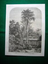 Gravure année 1860 Baie du Bengale, latanier de l'ile du Grand-Andaman
