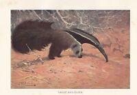 C1914 Naturel History Imprimé~ Great Ant-Eater Feeding ~ Lydekker