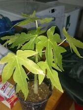 "Hawaii Solo Papaya - Great Fruit Tree - 8"" to 1 Feet Tall - Ship in 3"" Pot"