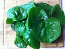 Malabar 'Green Stemmed' Climbing Spinach (basella alba) 30 Reliable Viable Seeds