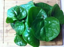 Malabar 'Green Stemmed' Climbing Spinach (basella alba) 5 Reliable Viable Seeds