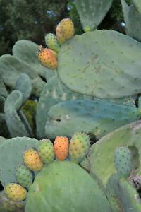 10 x Opuntia Ficus Indica edible Prickly Pear Cactus Cutting Orange / Red