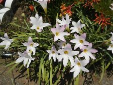 1-Dozen Seeds: Pink Rain Lily Surprise Lily Zephyranthes Lil Pinks Pink Fairy