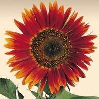 Sonnenblume Avondzon - Sunflower 20+ Samen - SCHÖN und ROT!