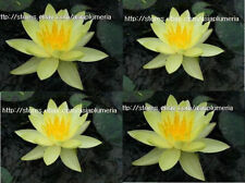 2 LIVE PLANTS COMANCHE HARDY WATER LILY PLANTS BULB strong healthy + Free Doc