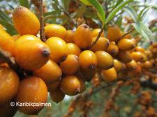 Hippophae rhamnoides - Sanddorn - winterharte Pflanze 70-100cm - Fasanenbeere