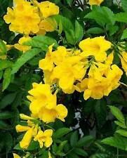 Tecoma stans YELLOW ELDER, TRUMPETBUSH, YELLOWBELLS, Long blooming Exotic~SEEDS~