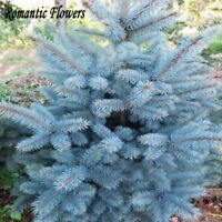 100 Particle/bag Blue Spruce Seed Picea Tree Potted Bonsai Courtyard Garden Plan
