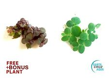 5 Red Root Floaters PLUS 5 Dwarf Water Lettuce (+FREE) - Floating Aquatic Plant