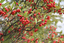 20 BRILLIANT RED CHOKEBERRY SEEDS - Aronia arbutifolia 'Brilliantissima'