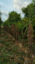 Palmen-Bäume mit mittlerem Wasserbedarf für volles Sonnenlicht