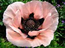 Papaver orientale 'konigin alexandra' Oriental Poppy 20 seeds