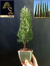 Cupressus Sempervirens Totem Pre-bonsai - A special tree