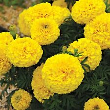 50 Marigold Seeds Moonstruck Lemon Yellow Marigold Seeds