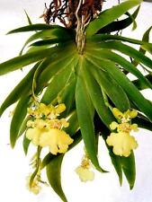 Rare orchid species (bloom size) - Oncidium / psygmorchis pussila