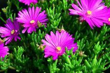 Pianta Mesembriantemo o Lampranthus, Cespuglio di Mesembriantemo, Vaso 7cm