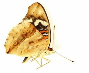 LEPIDOPTERA, NYMPHALIDAE, NYMPHALINAE, PRECIS CLELIA from R.C.A