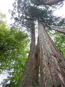 Sequoiadendron giganteum - Big Tree - Giant Sequoia - 100 or 350 seeds