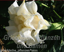 Datura Triple White 15 Seeds Angel's Trumpet Triple White AROMATIC PLANT