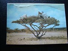 DJIBOUTI - carte postale 1983 chevres sur epineux  (cy69)