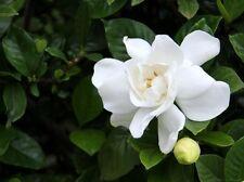 Gardenia Jasminoides 'Veitchii' Live Plant