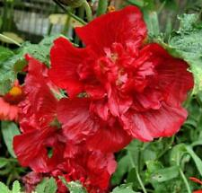 Alcea rosea Queeny Mix 20 seeds