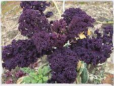Grünkohl Scarlet - Kale - 20+ Samen - FEIN und WINTERHART!
