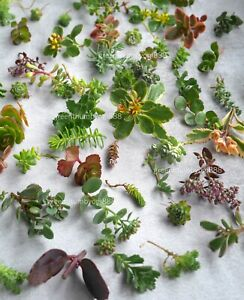 15 Sedum Succulents Assorted Cuttings Outdoor Hardy Groundcover Greenroof