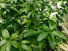 FRESH  MANGO Leaves 100% ORGANIC Tea Leaf FREE SHIPPING from FLORIDA  30 ++ pc