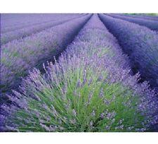 150 graines de LAVANDE (Lavandula Angustifolia) X215 TRUE LAVENDER SEEDS SEMI