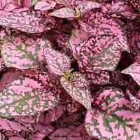 Hypoestes Confetti Rose Seed Easily Grown Foliage House/Shade Plant Colorful