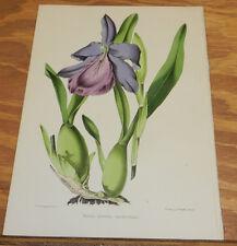 1851 Antique VIBRANT COLORS Floral Print/MILTONIA SPECTABILIS