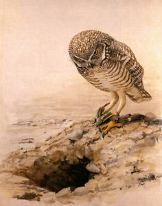 Louis Fuertes Burrowing Owl Print 11 x 14   #5533