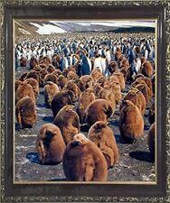 King Penguins Colony Wildlife Mahogany Framed Wall Decor Picture Art Print 20x24