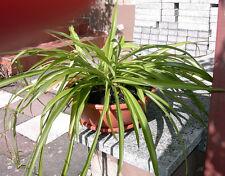 Grünlilie  Zimmerpflanze (mit Blumenschale)