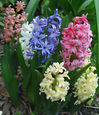 HYACINTHS MIXED  - Apricot, Pink,White, Blue & more colours - Flower Bulbs x 5