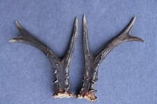 NATURALLY SHED WILD ROE DEER ANTLER SET (HORN, CABIN, KNIFE, CARVING, JEWELRY)