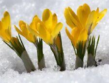 Schnee-Krokus gelb blüht sehr früh mitten im Winter winterhart duftende Blumen