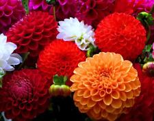 100pcs Multicolored Dahlias Beautiful Fireball Pinnata Home Garden 100pcs