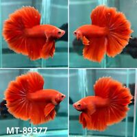 (MT-89377) Solid Red Rose Fancy Tail Over Halfmoon Live Male Betta Fish Grade A+