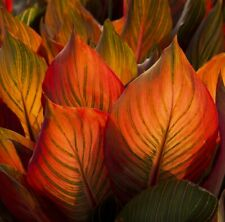 Canna Lily Tropicana BLOOD ORANGE Red Leaves BULB RHIZOME garden plant