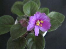 African Violet Leaves Hondo Honey Semi Miniature 2 Leaves