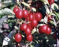 RARE 3 graines de GOUMI (Elaeagnus Multiflora)H237 CHERRY SILVERBERRY  SEEDS