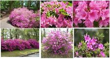 Pink Azaela Bush Perennial Shrub Very Pretty! 25 Seeds