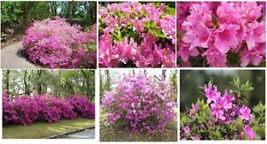Pink Azalea Bush Perennial Shrub Very Pretty!  25 Seeds USA Seller
